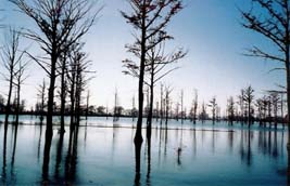 Photo of cypress trees in the tranquil water of Robert G. Delaney Lake, Mississippi County, Missouri.